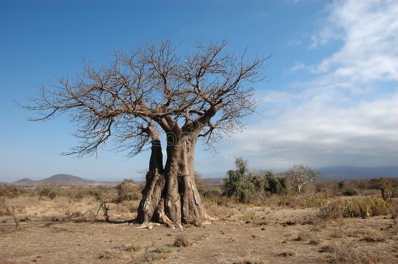Árvore de Baubab no arbusto fotografia de stock royalty free