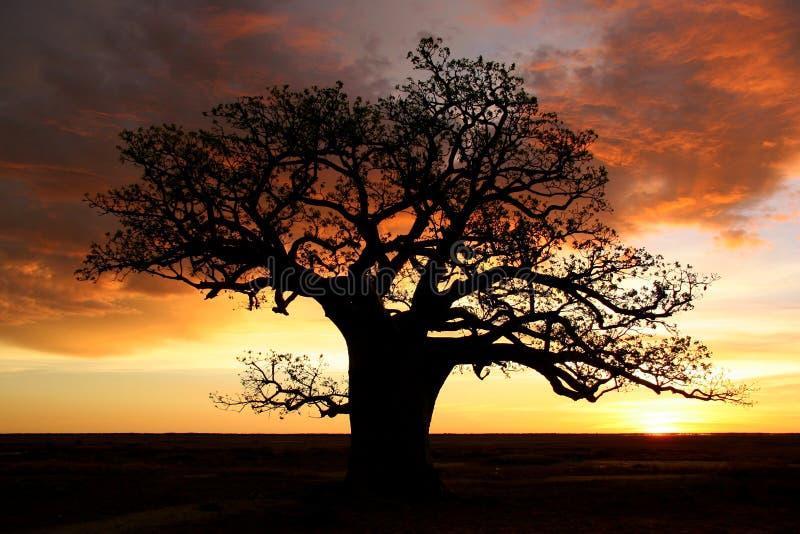 Árvore de Boab, Kimberly, Austrália imagem de stock royalty free