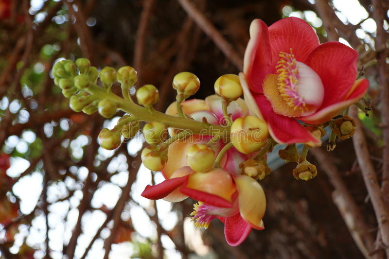 A árvore de Bodhi foto de stock
