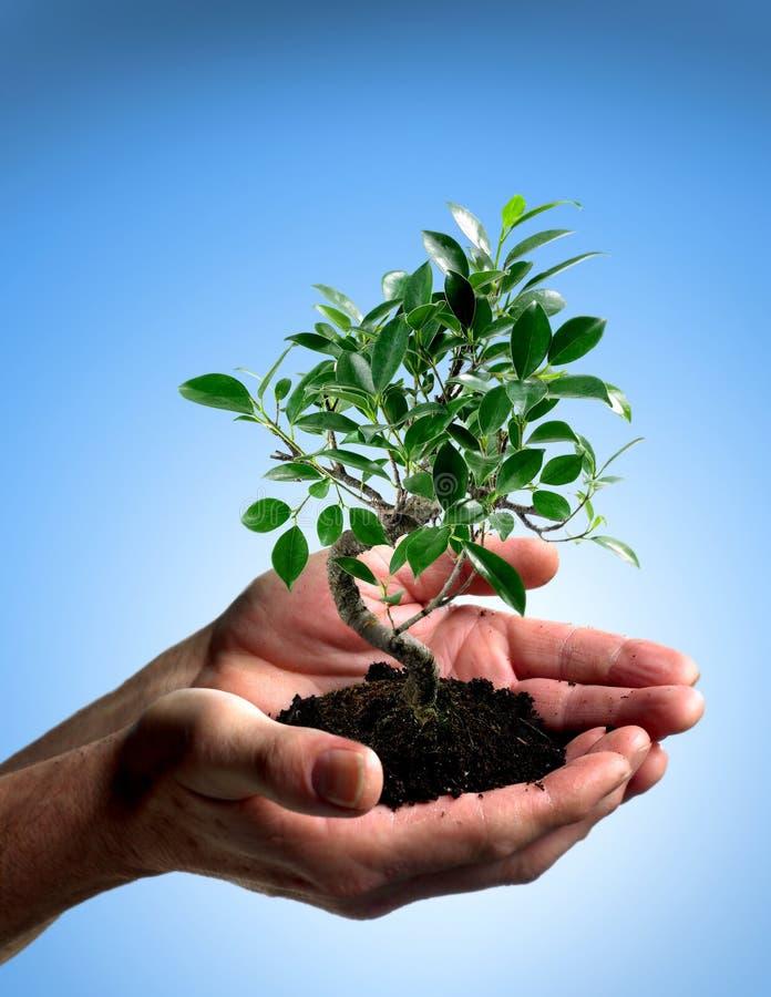 Árvore de Bonsia nas mãos imagens de stock