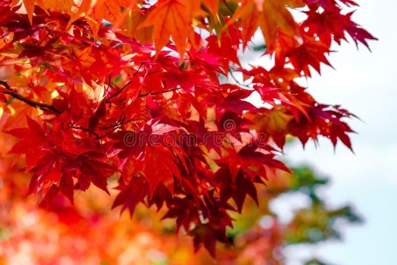 Árvore de bordo alaranjada na estação do outono, em cores brilhantes do ramo de árvore do bordo em alaranjado, em vermelho e em a imagens de stock royalty free