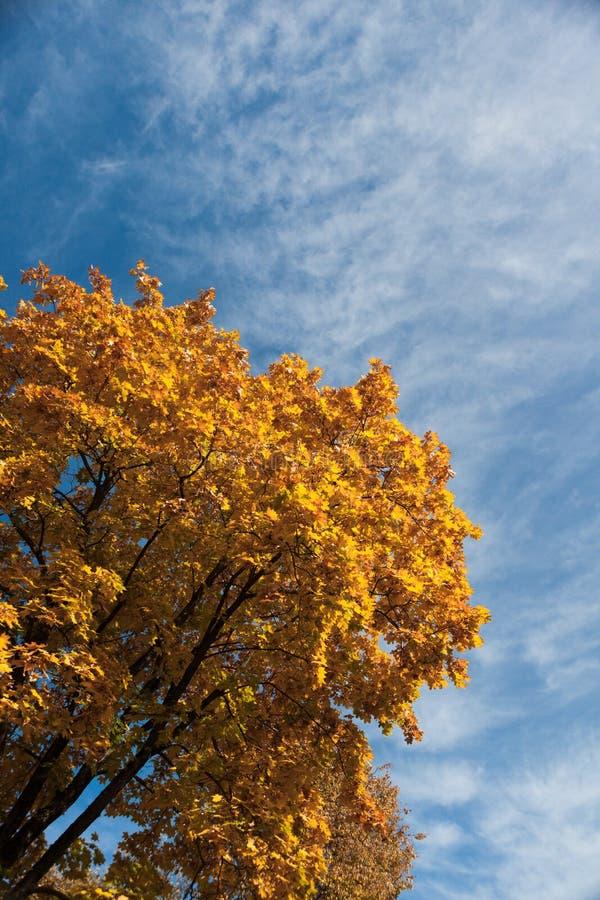 A árvore de bordo alaranjado, amarelo e vermelho vibrante e colorida sae foto de stock