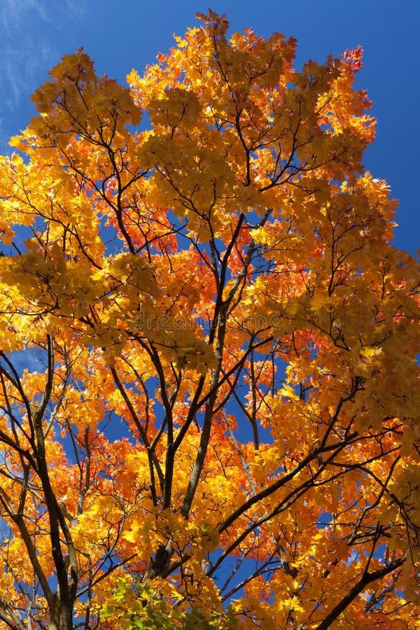 A árvore de bordo alaranjado, amarelo e vermelho vibrante e colorida sae imagens de stock