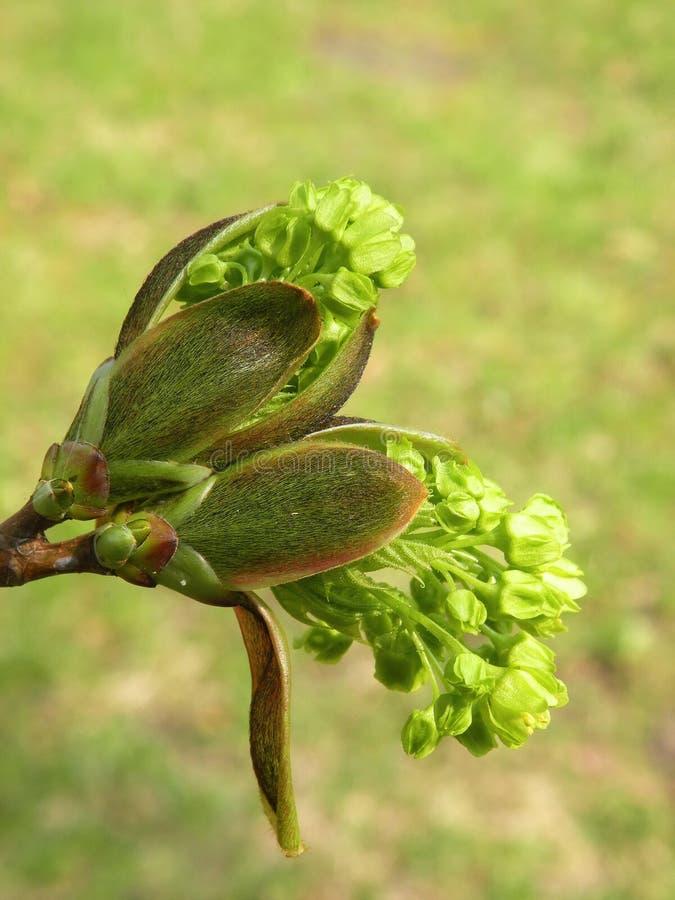 Árvore de bordo de florescência foto de stock