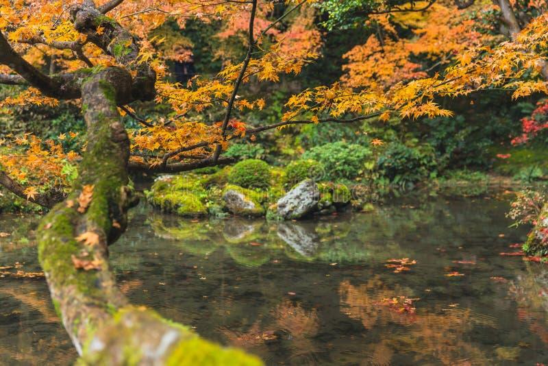 Árvore de bordo do outono com o jardim da floresta do lago da lagoa em kyoto foto de stock