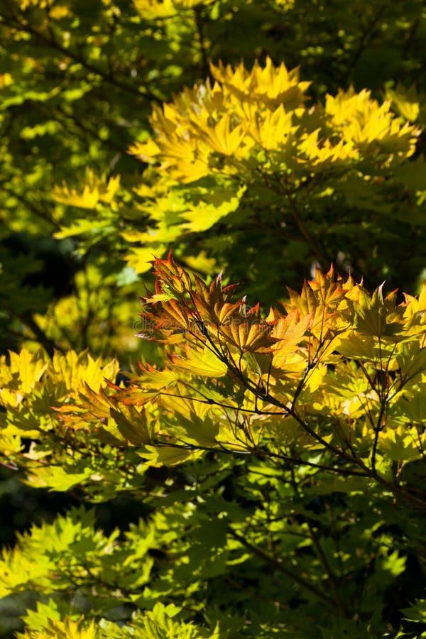 Árvore de bordo dourada da Lua cheia fotografia de stock