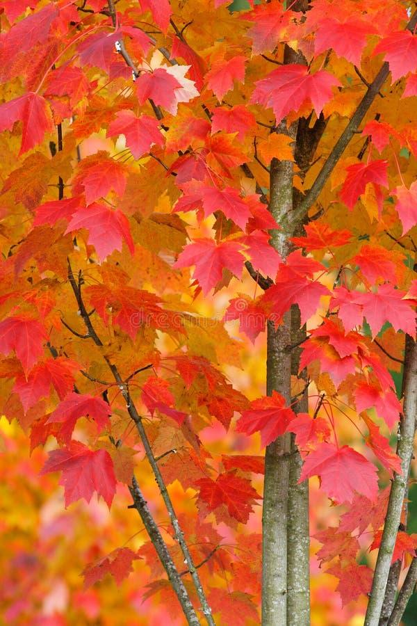 Árvore de bordo em Autumn Closeup fotos de stock