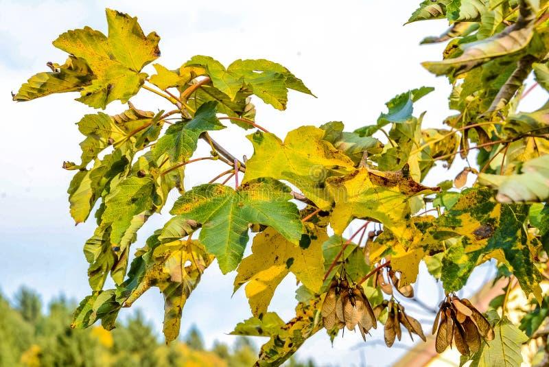 Árvore de bordo europeia no outono com sementes foto de stock