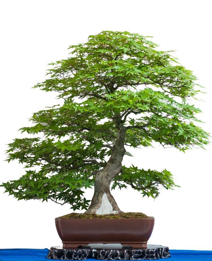 Árvore de bordo japonês antiga como bonsais foto de stock royalty free