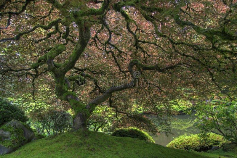 Árvore de bordo japonês na mola fotografia de stock royalty free