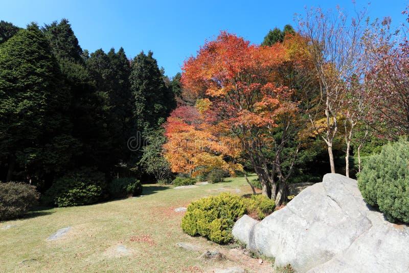 Árvore de bordo no outono fotografia de stock