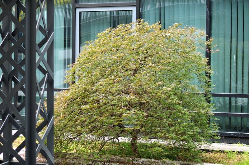 Árvore de bordo pequena na área verde de um distrito financeiro foto de stock royalty free