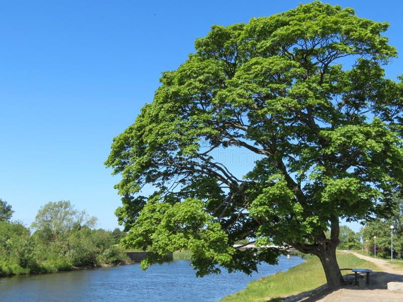 Árvore de bordo perto do rio, Lituânia fotografia de stock royalty free
