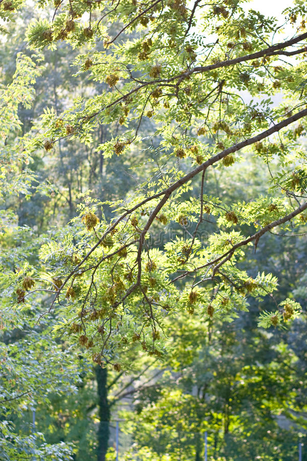 Árvore de bordo verde imagem de stock