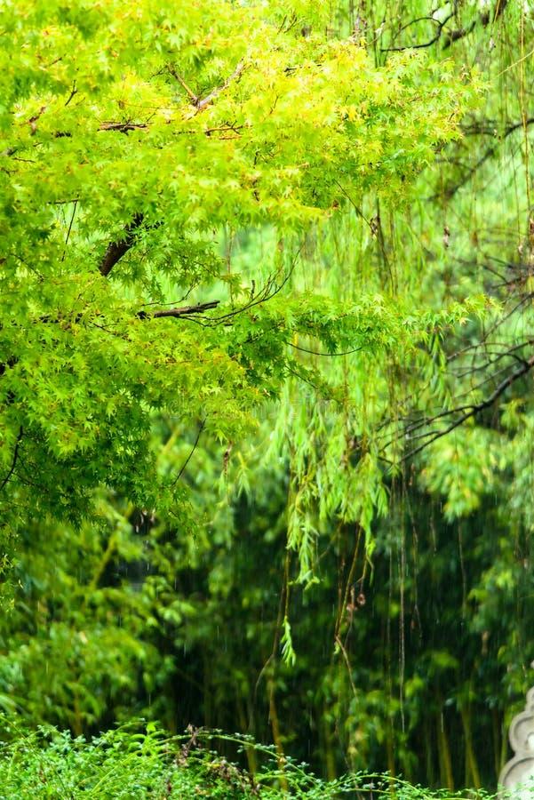 Árvore de bordo verde na chuva fotografia de stock