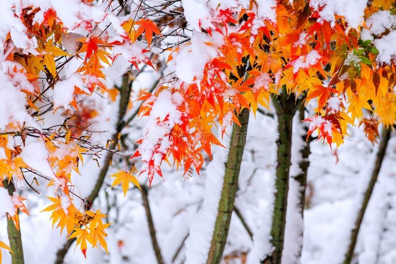 Árvore de bordo vermelha da queda coberta na neve, Coreia foto de stock