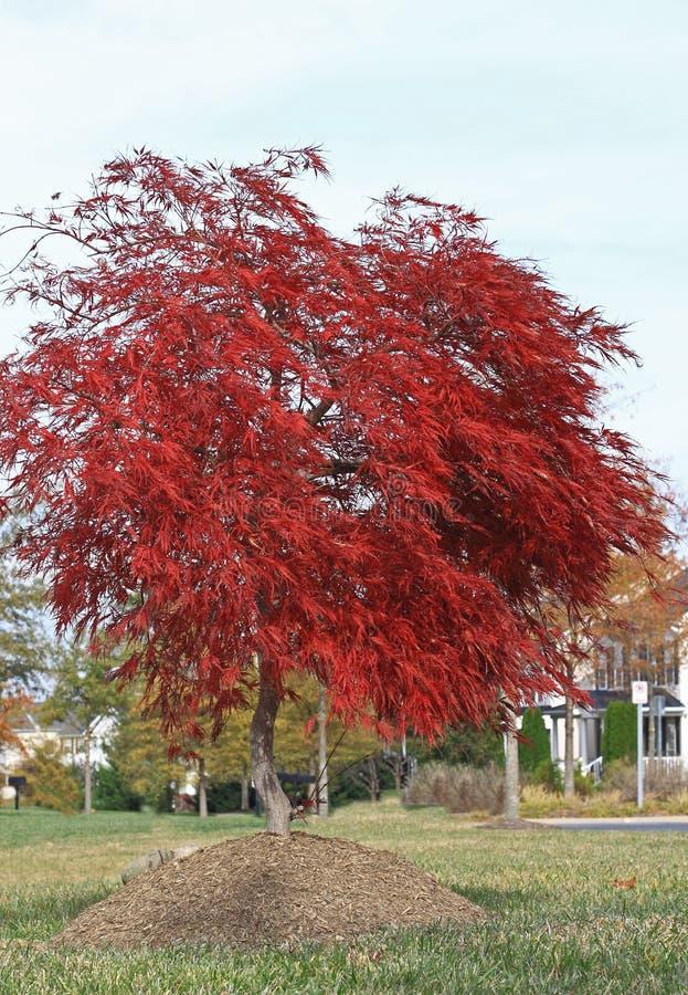 Árvore de bordo vermelho foto de stock