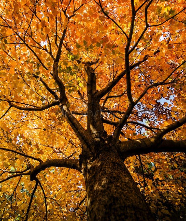 Árvore de bordo vermelho fotografia de stock royalty free