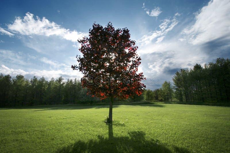 Árvore de bordo vermelho no quintal fotos de stock royalty free