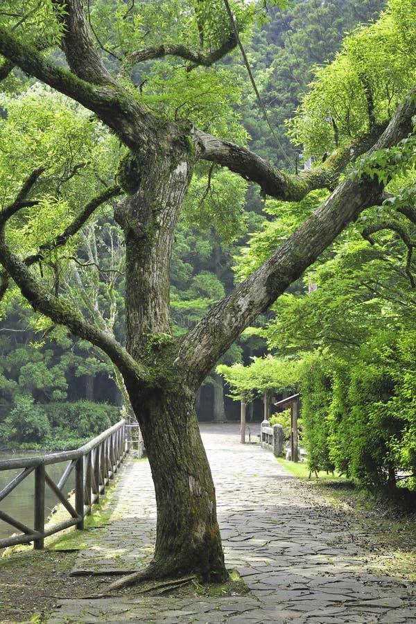 Árvore de cânfora imagens de stock
