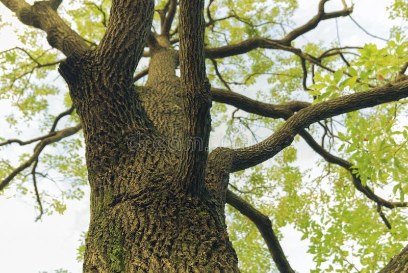 Árvore de cânfora fotografia de stock royalty free