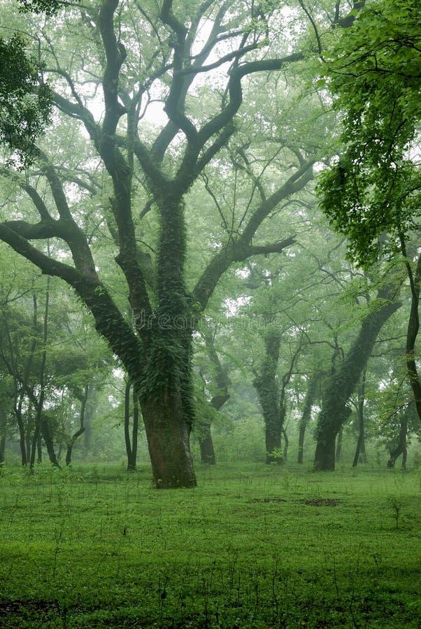 Árvore de cânfora antiga imagem de stock