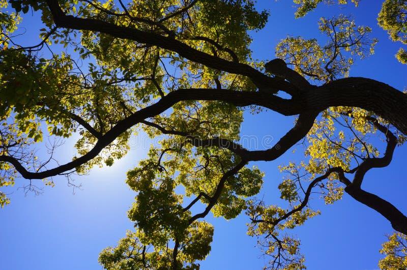 Árvore de cânfora contra o sol do meio-dia imagens de stock