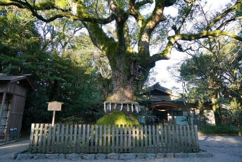 Árvore de cânfora sagrado no santuário de Atsuta, Nagoya imagem de stock