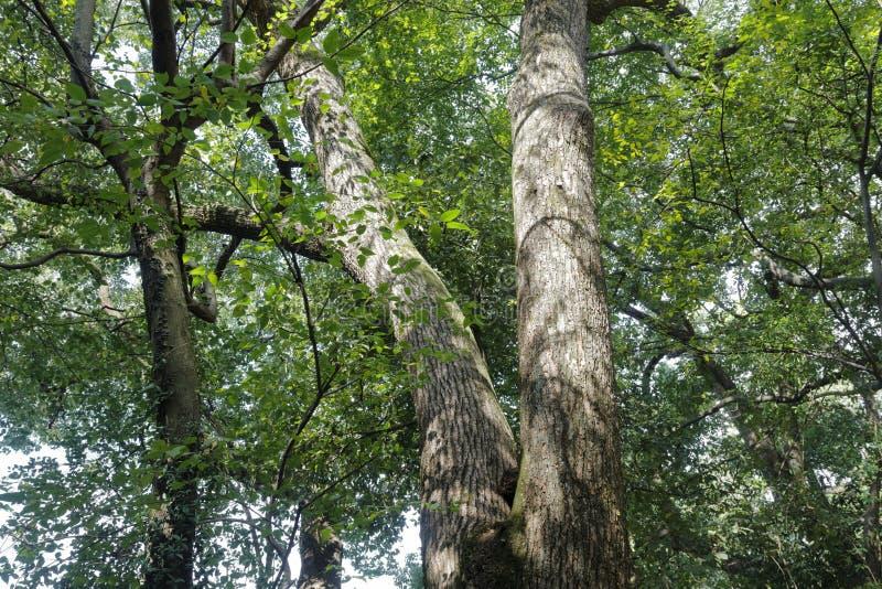 Árvore de cânfora velha, fotos de stock royalty free