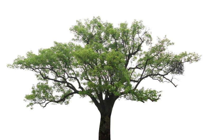 Árvore de cânfora velha foto de stock royalty free