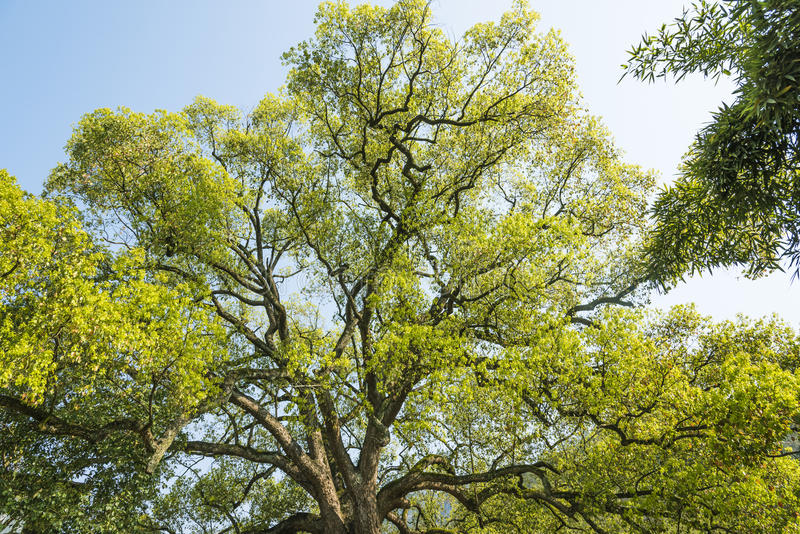 Árvore de cânfora velha foto de stock