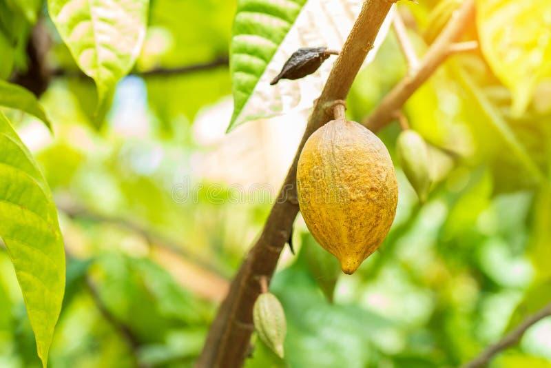 Árvore de Cacao (cacao de Teobroma) Pás de cacau orgânico imagem de stock royalty free