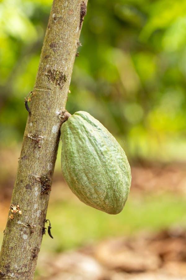 Árvore de Cacao (cacao de Teobroma) Pás de cacau orgânico imagem de stock