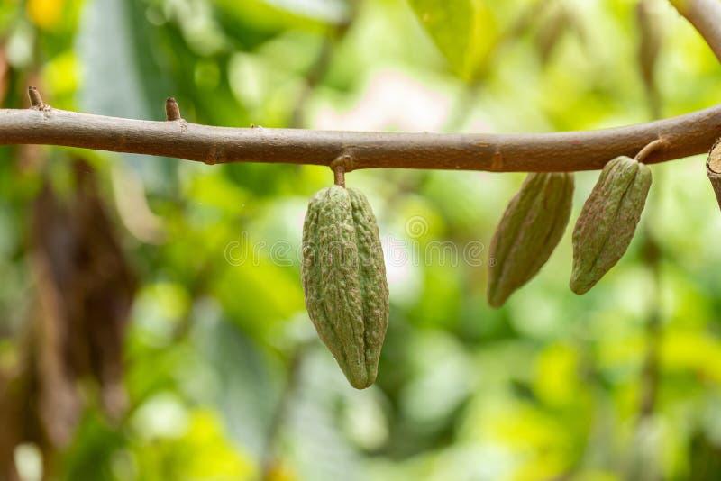 Árvore de Cacao (cacao de Teobroma) Pás de cacau orgânico fotos de stock