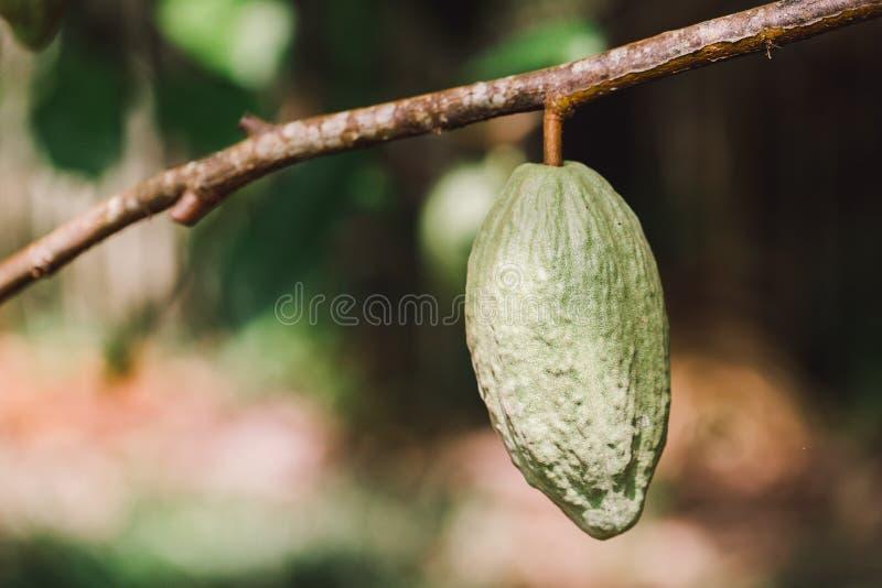 Árvore de Cacao (cacao de Teobroma) Pás de cacau orgânico imagens de stock