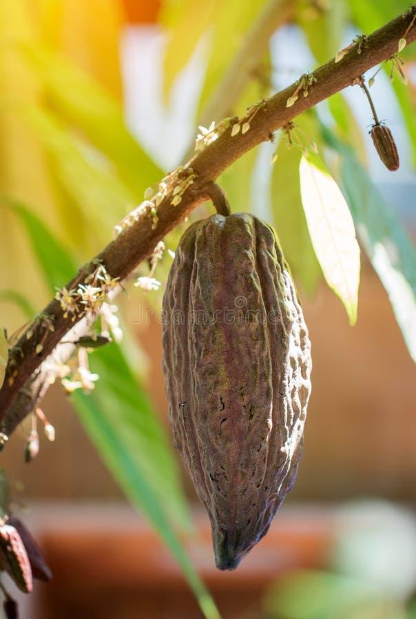 Árvore de cacau & x28; Cacao& x29 do Theobroma; Vagens orgânicas do fruto do cacau na natureza imagens de stock royalty free