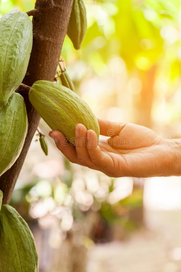 Árvore de cacau & x28; Cacao& x29 do Theobroma; Vagens orgânicas do fruto do cacau na natureza imagem de stock royalty free