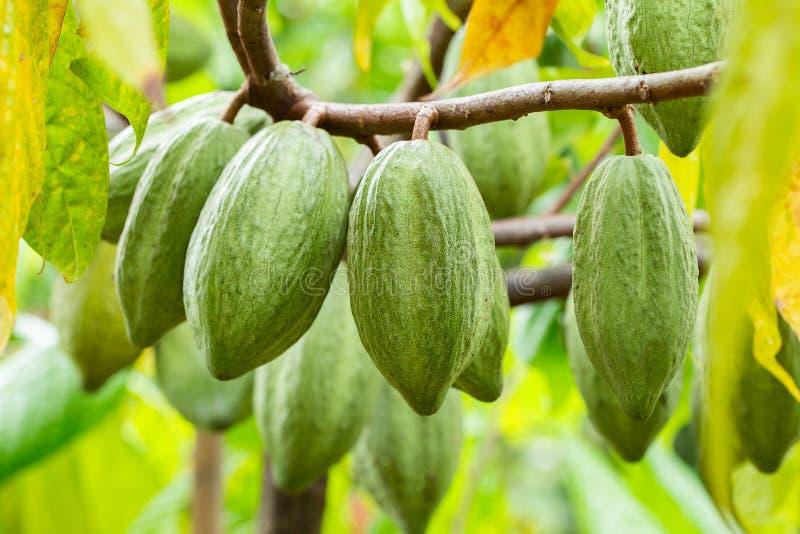 Árvore de cacau & x28; Cacao& x29 do Theobroma; Vagens orgânicas do fruto do cacau na natureza fotografia de stock