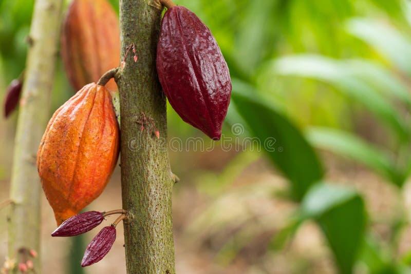Árvore de cacau & x28; Cacao& x29 do Theobroma; Vagens orgânicas do fruto do cacau na natureza fotografia de stock royalty free