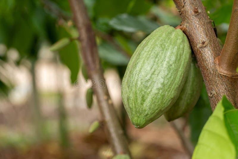 Árvore de cacau & x28; Cacao& x29 do Theobroma; Vagens orgânicas do fruto do cacau na natureza imagens de stock