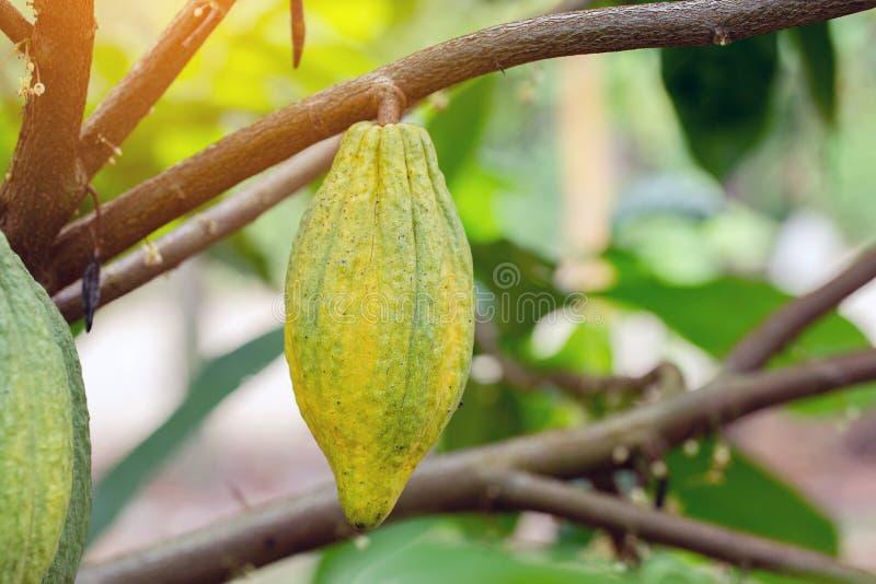 Árvore de cacau & x28; Cacao& x29 do Theobroma; Vagens orgânicas do fruto do cacau na natureza foto de stock