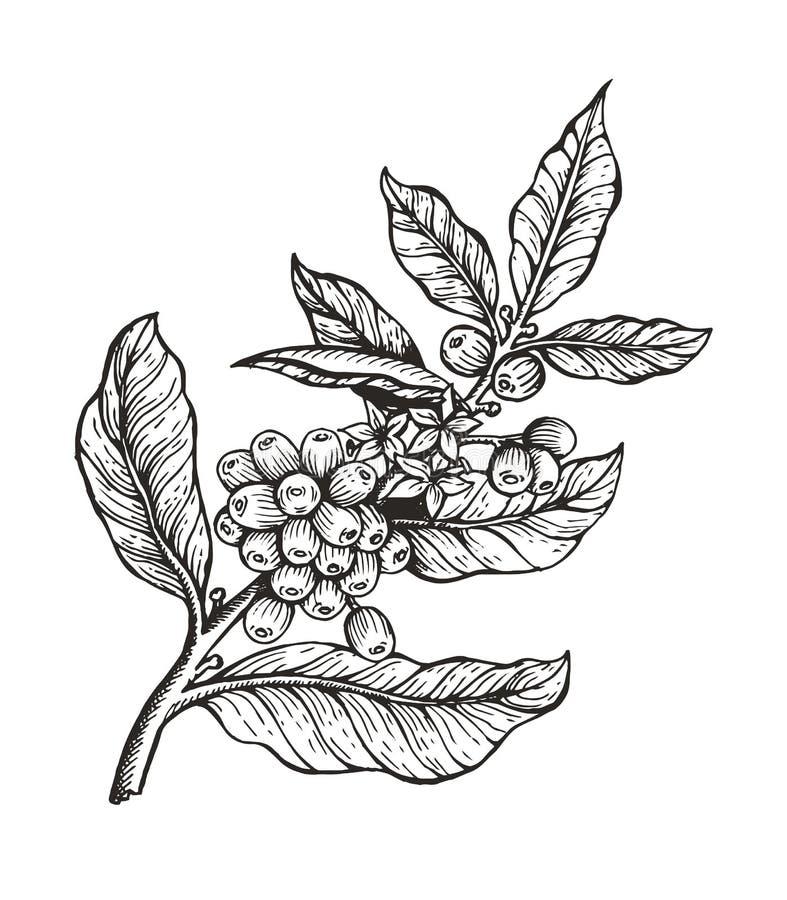 Árvore de café com ilustração do vetor do Coffea dos feijões ilustração do vetor