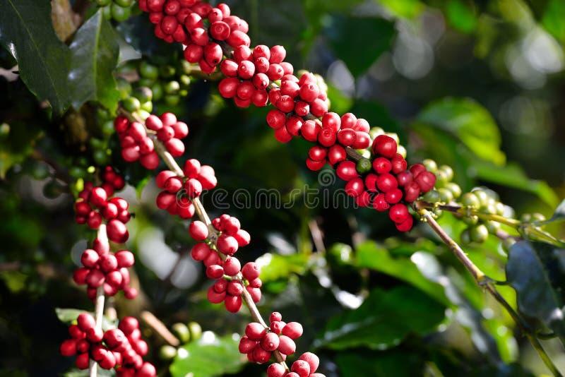 Árvore de café com os feijões de café na plantação de café imagem de stock royalty free