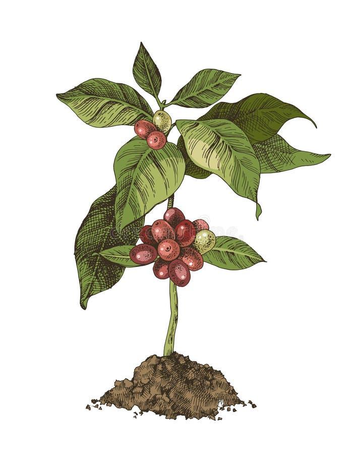 Árvore de café nova com feijões ilustração do vetor