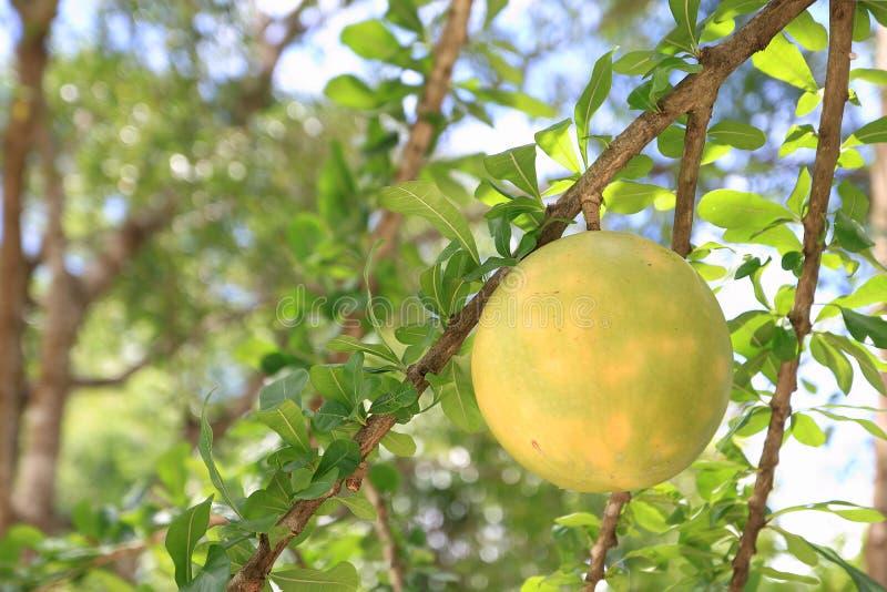 Árvore de Calabash e Crescentia de Frutas L O Calabash é utilizado principalmente em utensílios, tais como copos, tigelas e bacia imagens de stock