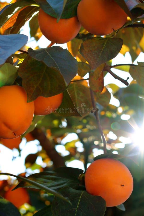 Árvore de caqui com frutos alaranjados maduros no jardim do outono imagens de stock royalty free