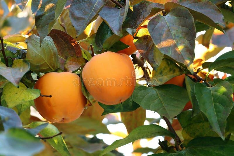 Árvore de caqui com frutos alaranjados maduros no jardim do outono fotografia de stock royalty free