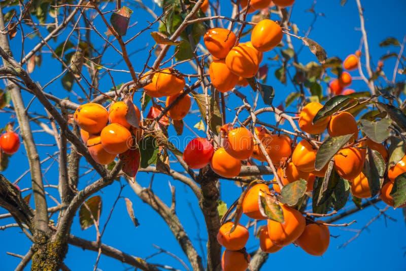 Árvore de caqui com o céu azul do agenst alaranjado maduro dos frutos, outono t fotos de stock