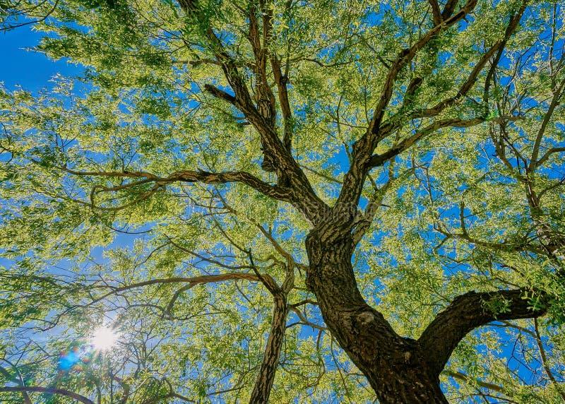 Árvore de carvalho fotografia de stock royalty free