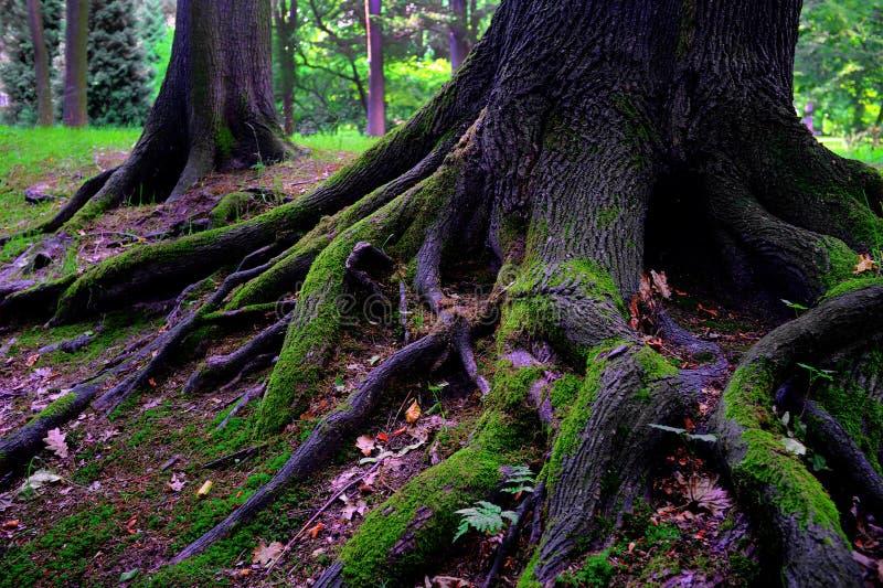 Árvore de carvalho após a chuva fotos de stock